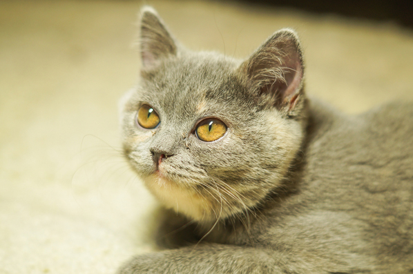 AAFP releases educational toolkit for feline diabetes