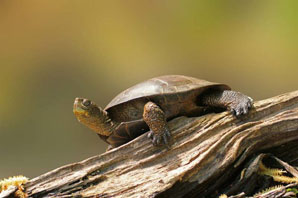 Fungus likely linked to freshwater turtle shell disease