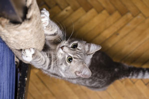 Declawing banned in St. Louis