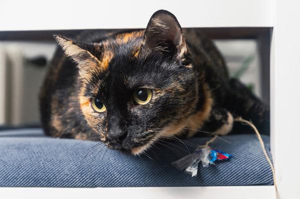 Feline retroviruses central in AAFP resource