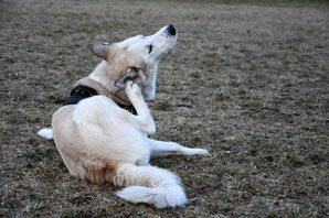 Elanco divests from canine ear treatment in $135-million deal