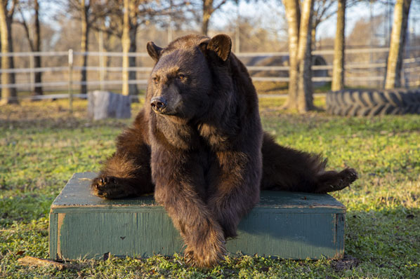 No sign of mass in bear that underwent radiation treatment at Texas A&M