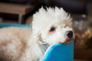 Clinical trial aims to treat canine pancreatitis