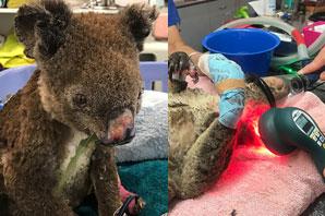 Advanced lasers helping koala burn wounds in Australia