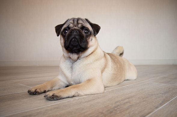 N.C. pug tests positive for COVID-19