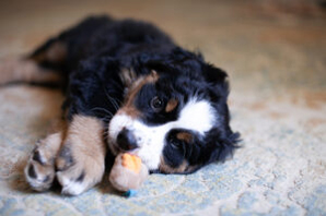 Parvo cases jump a whopping 70 percent during COVID