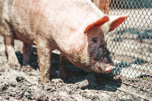 Feed additives could mitigate the spread of deadly ASF