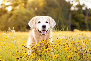 """Golden oldies"" could unlock secrets of canine cancer"