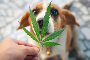Guide weeds out veterinary cannabis myths