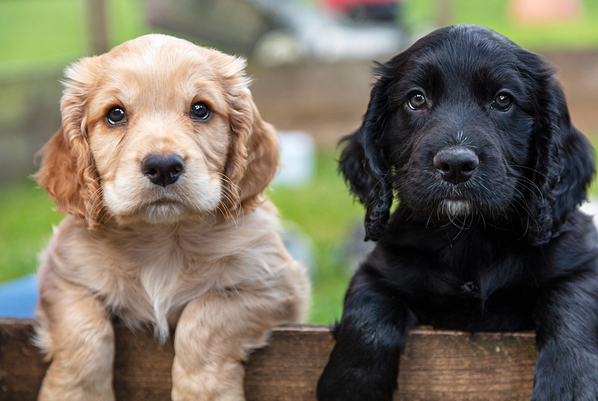 Preventative for deadly puppy disease may be imminent