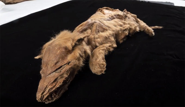 Ancient wolf pup shows European ancestry