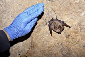 Fungal disease threatens western bat populations