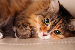 Feline kidney disease sees new treatment possibility
