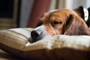 Canine lymphoma drug gets full approval