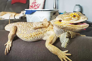A practitioner's guide to bearded dragons