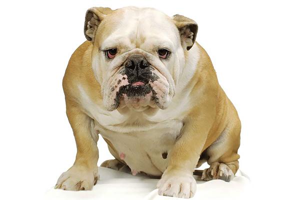 Bulldog lymphocytosis: Not always a cancer diagnosis