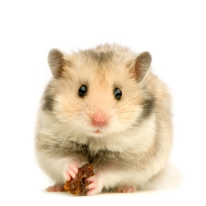 What You May Not Know About Hamster Scent Glands - Veterinary