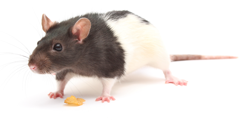 What You Need To Know About Rats Veterinary Practice News