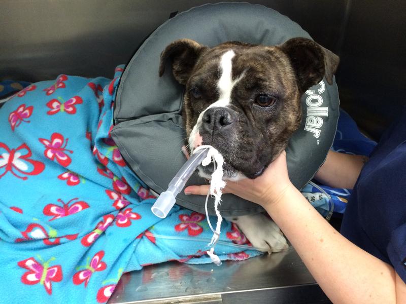 The art of anesthesia in brachycephalic dogs - Veterinary