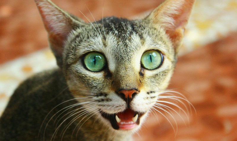 1a599b8caa Cats and Toothache Vet Costs - Veterinary Practice News