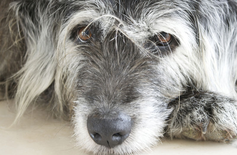 dog heart murmur medication waylz istockthinkstock what you need to know about murmurs and heart disease in senior dogs