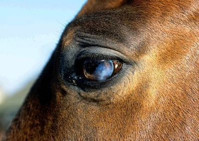 What To Do If A Horses Cornea Turns Blue Veterinary
