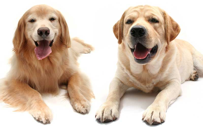 Sterilization Effects Worse For Golden Retrievers Than Labs