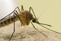 Zoom mosquito