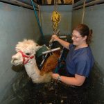 WSU was one of the world's first veterinary colleges to have an equine recovery pool built into its hospital. In addition to helping horses recover from fragile surgical repairs, it is used to rehabilitate others species, like this alpaca.
