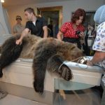 WSU is the only university in the nation that has a dedicated grizzly bear research colony on campus. The bears are part of a number of research projects, but two in particular in the veterinary college look at muscle physiology and cardiac adaptations