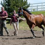 WSU's teaching hospital features both hard- and soft-surface areas for equine lameness and locomotion diagnosis. Here, students work a horse on a lunge line in the round pen.