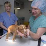 The Shelter Medicine program focuses on early age spay neuter; a puppy awaiting surgery.