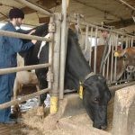 Veterinary student examining a cow.