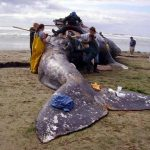 Researchers and veterinary students from Oregon State University and the Hatfield Marine Science Center work in May 2007 to take biological samples from a dead California gray whale that washed ashore south of Newport, Ore.