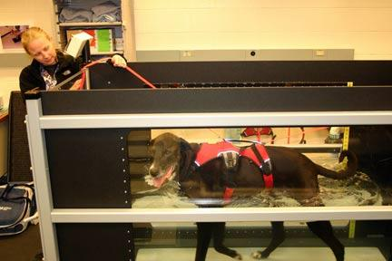 Certified veterinary technician Nichole Hovelsrud works with Guinness, whose use of an underwater treadmill strengthened his muscles and improved his degenerative hip condition
