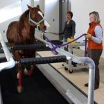 Assistant professor Erica McKenzie, DVM, Ph.D., Dipl. ACVIM, center, leads a horse through the paces on a new high-speed treadmill.