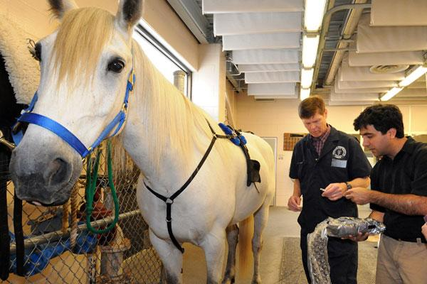 Professor Stephen Adams, left, DVM, MS, Dipl. ACVS, and biomedical engineering professor Ozan Akkus secure a prototype monitoring system on Whitey, a 14yr-old standardbred horse. The device could help to prevent stress fractures by monitoring the formation