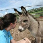 A baby donkey is cared for at the St. George's University farm where horses, cattle, sheep, pigs and goats can also be found.