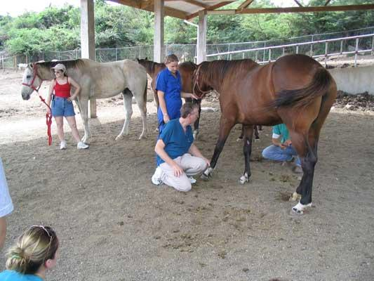 In addition to working with small animals, St. George's students are instructed in the veterinary care of large animals such as horses.