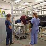 A clinician instructs students on ultrasound examination of a pregnant cow.