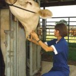 A student prepares to vaccinate a cow in the neck.