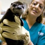 Veterinary technician Jessica Sosa holds an 8-week-old river otter at the zoological medicine ward.
