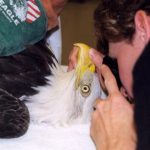 The Raptor Center treats more than 600 eagles, hawks, owls and falcons each year and provides veterinary and public education programs.