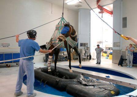 Penn Vet's New Bolton Center has the latest advances in equine medicine and recovery. Pictured here is famed racehorse Barbaro rising from a recovery pool after being gently wakened post-surgery.