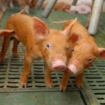 New Bolton Center's swine facility sets the standard of humane living models for other swine facilities nationwide.