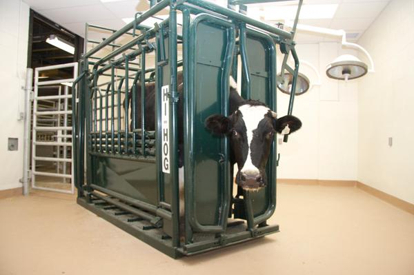 A rotating stock allows large animal clinicians to perform standing surgeries and other treatments on bovine patients and move the animals back into the hospital's large animal chute.