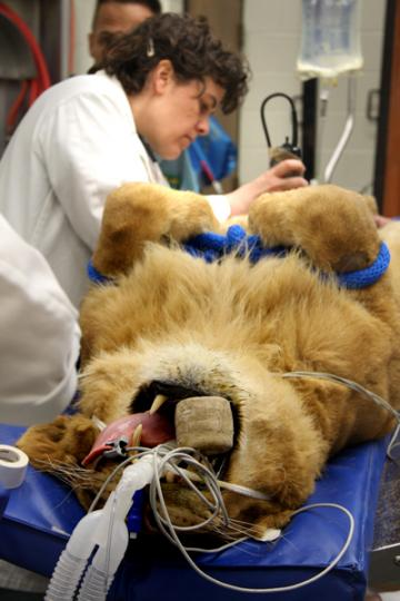 Dr. Dennilyn Parker, a specialist in exotic, wildlife and zoological medicine, prepares an anesthetized female lion for a surgical procedure.