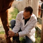 Large animal surgery resident Dr. Luca Panizzi (now a clinical associate) examines a horse's carpometacarpal joint after experimental surgery,  part of a research project that Panizzi conducted during his residency.