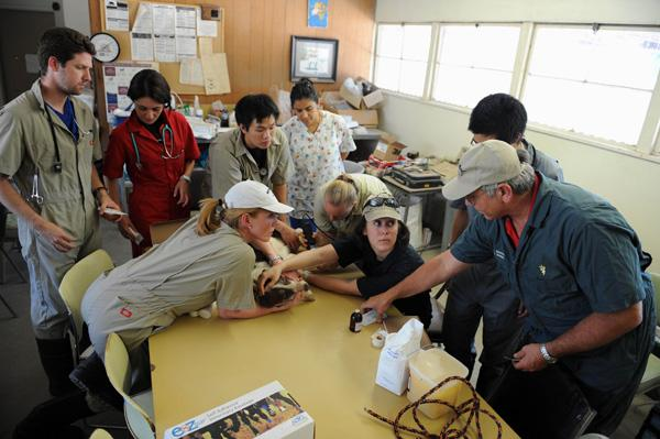 Second-year students work together to fix a leg gash on Kip, a 12-year-old farm dog.