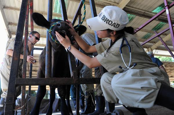 Professor Ron Terra, DVM, MBA, Dipl. ABVP, left, oversees second-year veterinary students working on a bull at Cal Poly Pomona's beef unit.